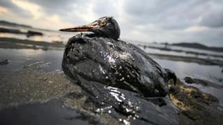 Oca ricoperta di petrolio